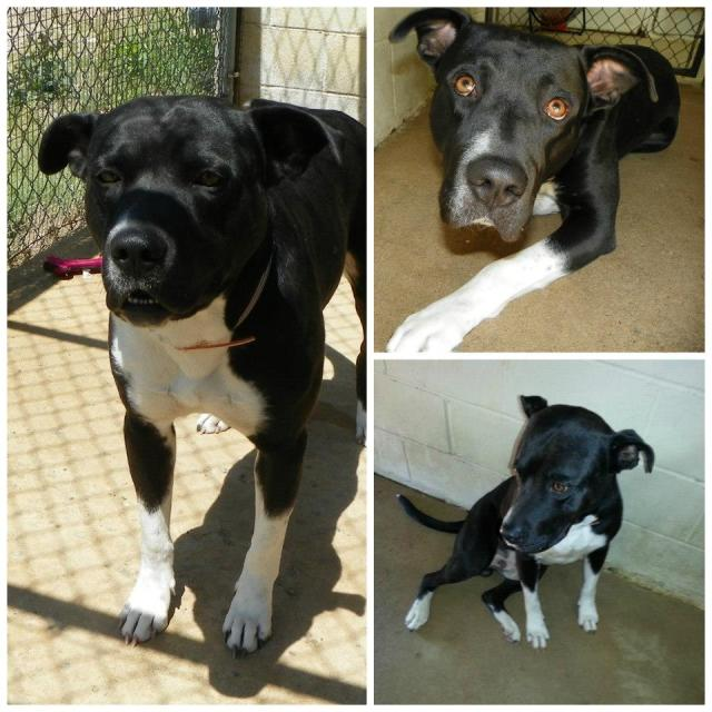 Duke is a Great Dane mix at the Henderson Animal Control.